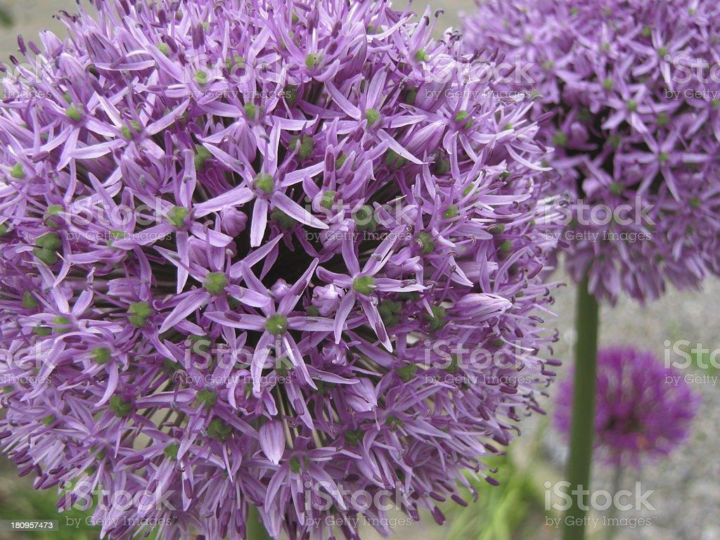flowering onion royalty-free stock photo