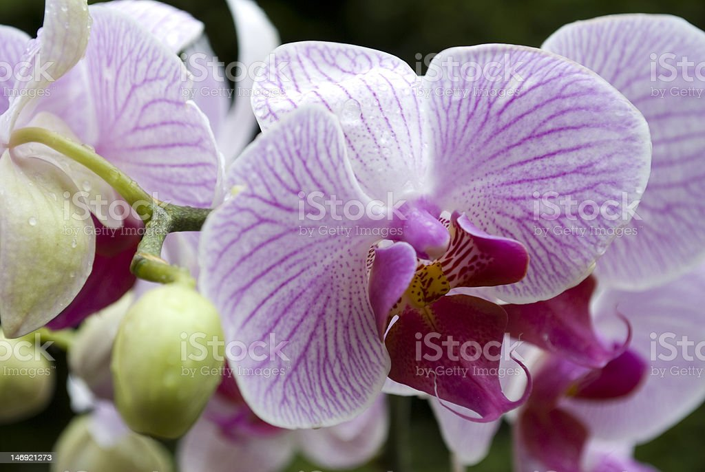Flowering orchid royalty-free stock photo