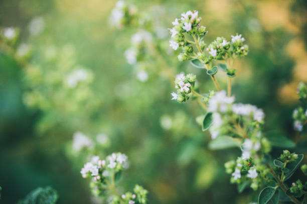 Flowering oregano in summer Flowering oregano in summer herbal medicine stock pictures, royalty-free photos & images