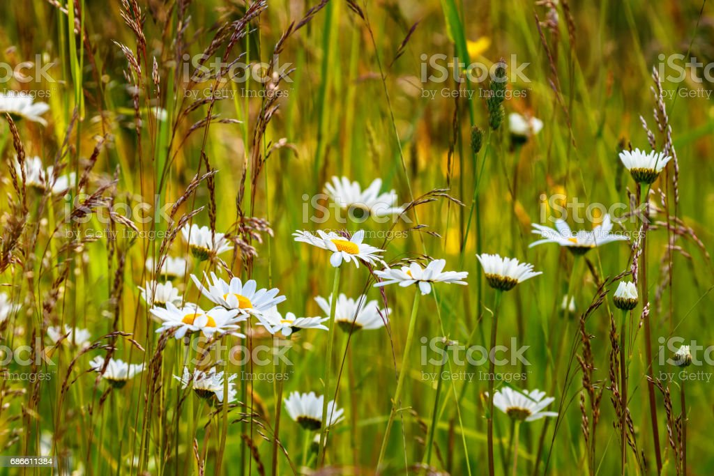 Flowering Oxeye daisy flowers on a summer meadow royalty-free stock photo