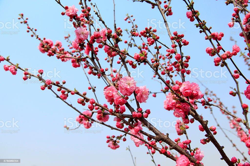flowering peach royalty-free stock photo