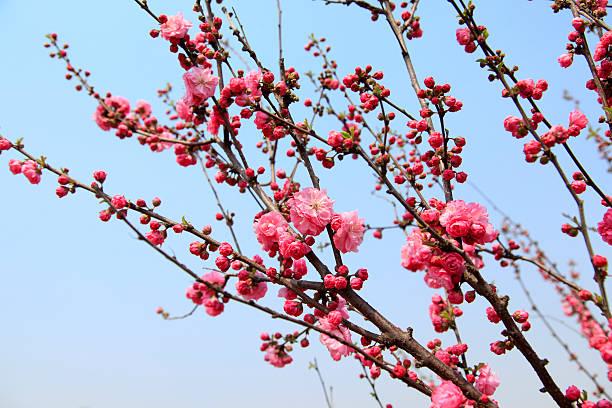 flowering peach stock photo