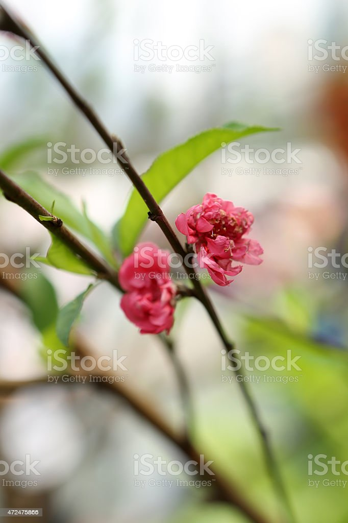 Flowering Peach / Prunus Persica stock photo
