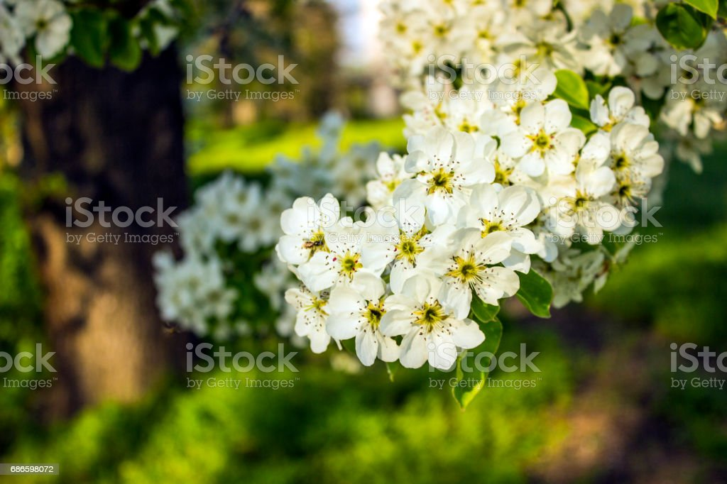 Flowering pear tree in spring sunny weather royalty-free stock photo