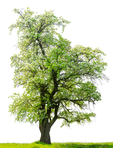 Flowering Pear Tree Isolated On White Stock Photo - Download Image Now