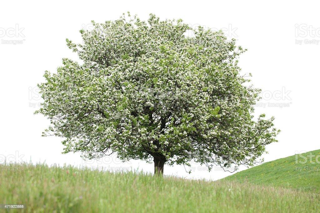 Flowering pear tree stock photo