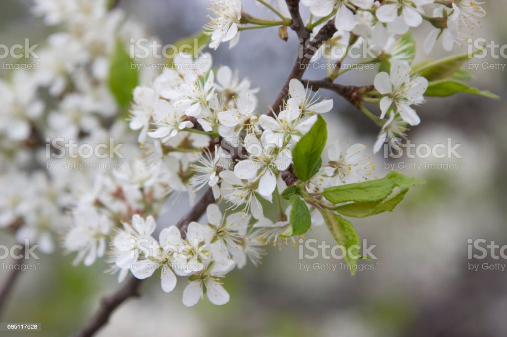 flowering pear tree. white flowers royalty-free stock photo