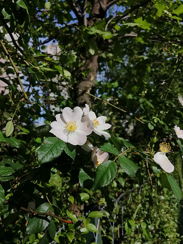Flowering Multiflora rose. Rosa multiflora