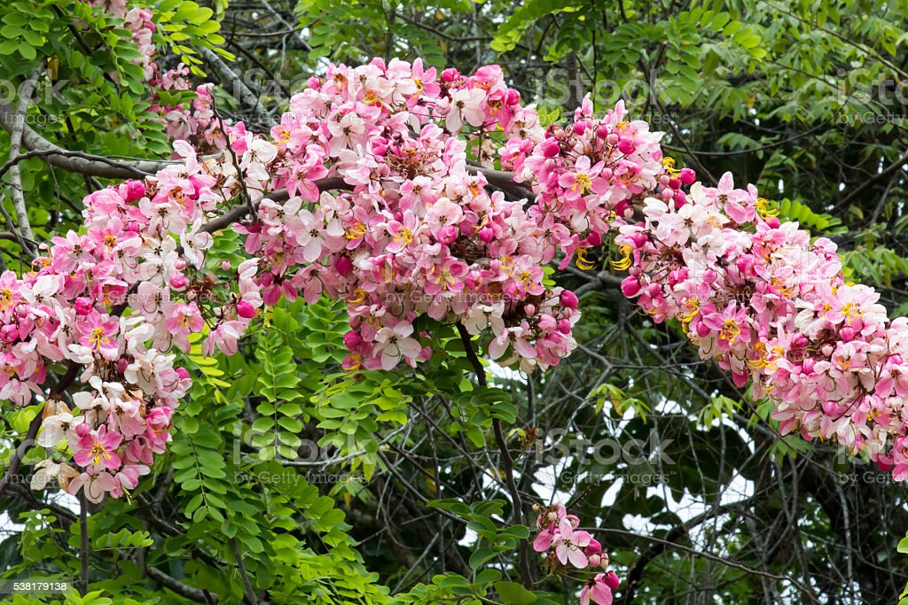 fleurs rose cassia javanica arbre au belize photos et plus d 39 images de am rique centrale istock. Black Bedroom Furniture Sets. Home Design Ideas