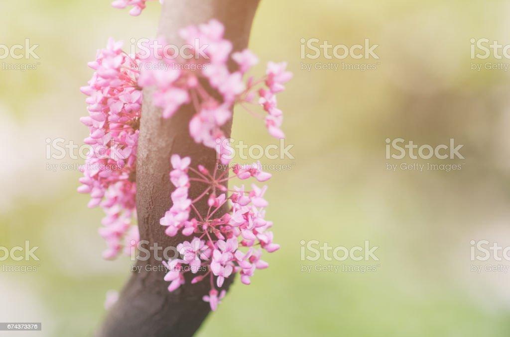 Flowering Pink Eastern Redbud Tree stock photo