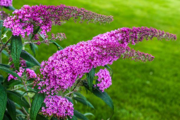꽃 식물 buddleja davidii-정말 나비 부시 - 관상용 식물 뉴스 사진 이미지