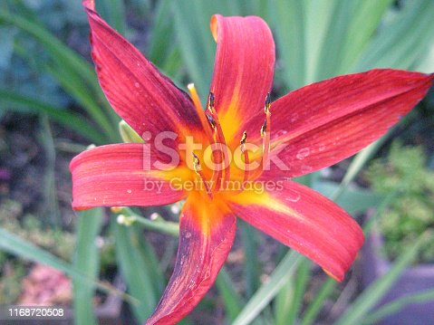 Flowering plant, Daylilly