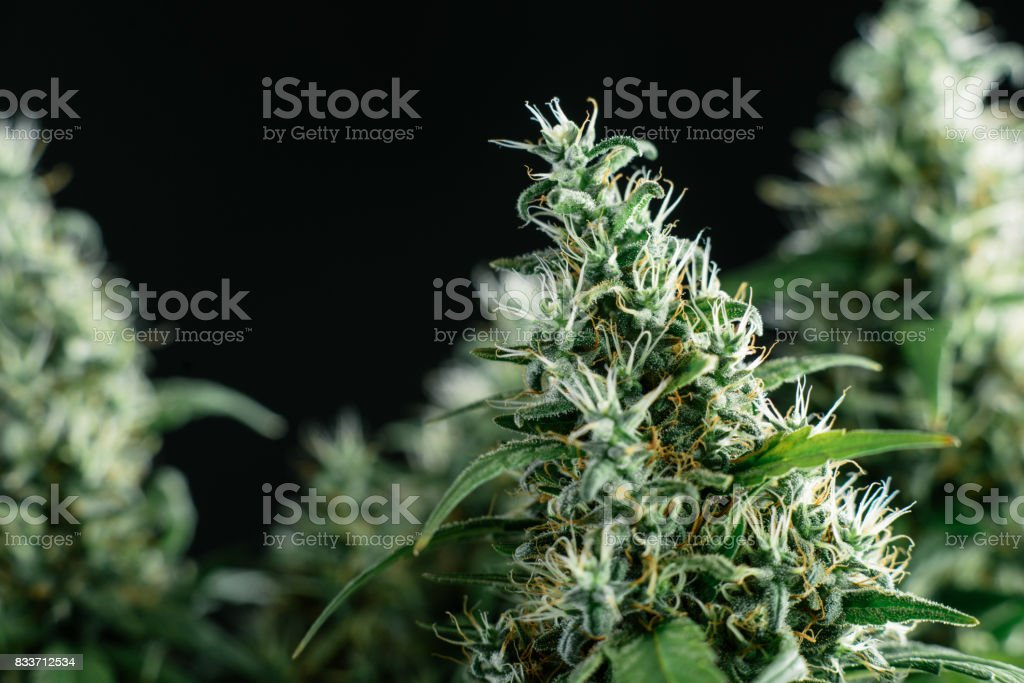 flowering plant marijuana stock photo