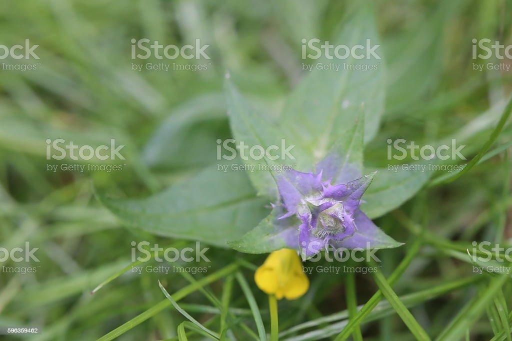 Flowering plant of the cow wheat species Melampyrum nemorosum royalty-free stock photo