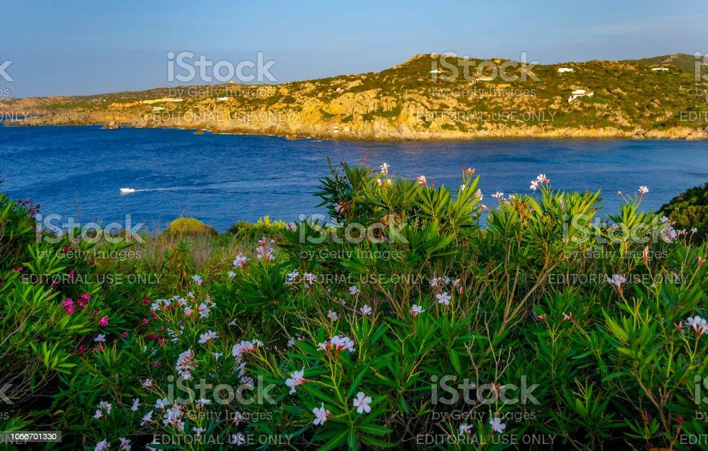 Flowering plants along the coast in Santa Teresa di Gallura (Olbia-Tempio, Sardinia, Italy). stock photo