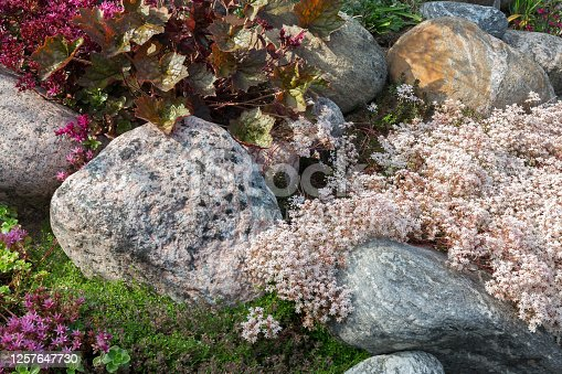 Flowering plants in a small rockery in the summer garden. Blooming pink stonecrop, sedum.