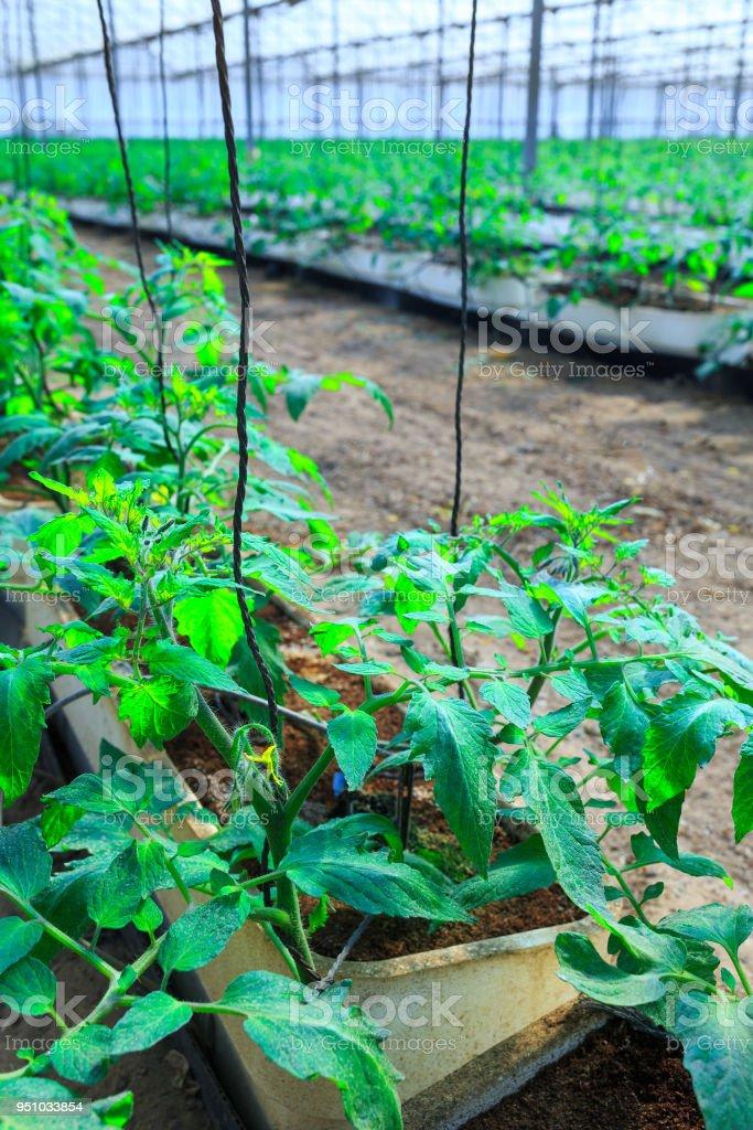 Plantes à Fleurs De Tomates Qui Poussent Dans Les Pots à Lintérieur