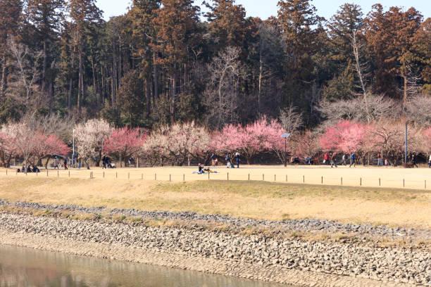 Blühende Pflaumenblüten färben den Park – Foto