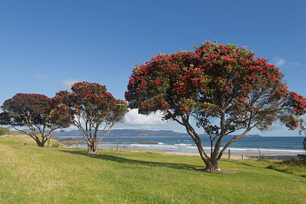 Flowering Pohutukawa Trees. stock photo