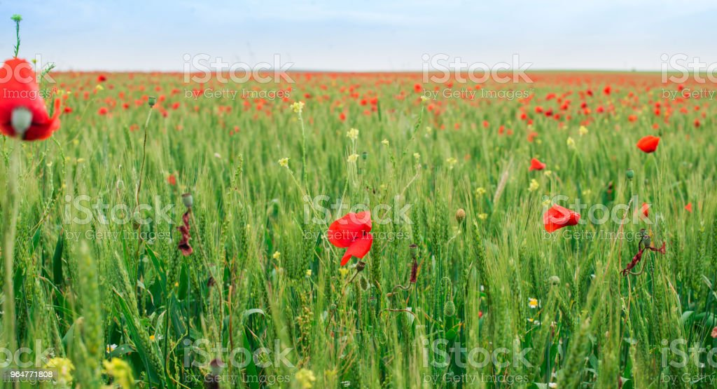 Flowering poppies in the meadow. royalty-free stock photo