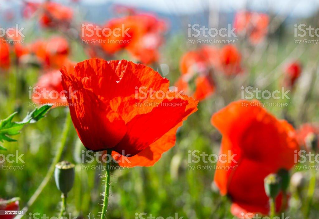 Un champ de fleurs de pavot à Barcelone, Espagne photo libre de droits