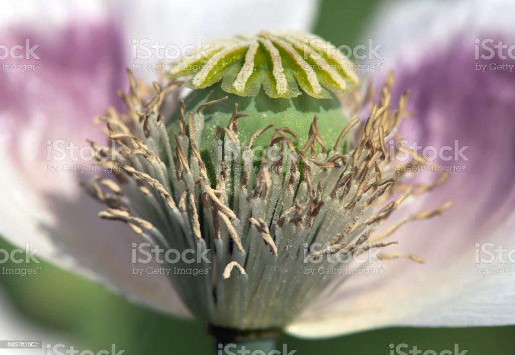 flowering poppy field foto stock royalty-free