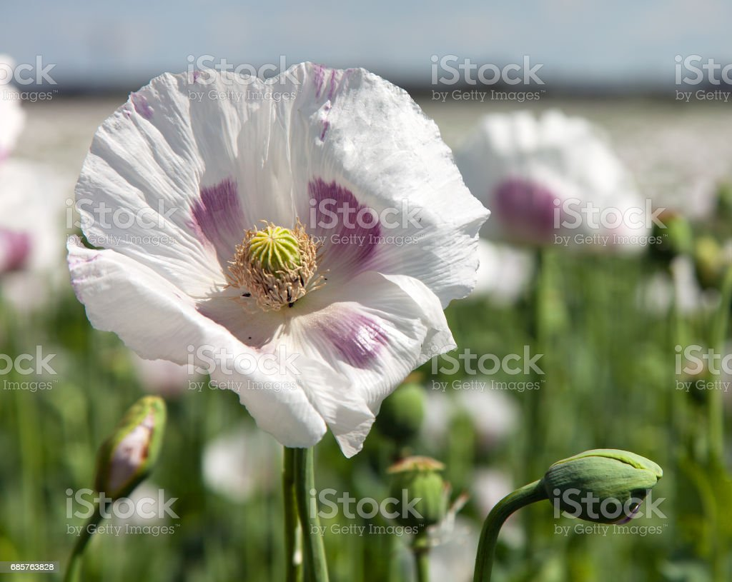 flowering poppy field royaltyfri bildbanksbilder