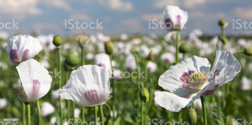flowering poppy field stock photo