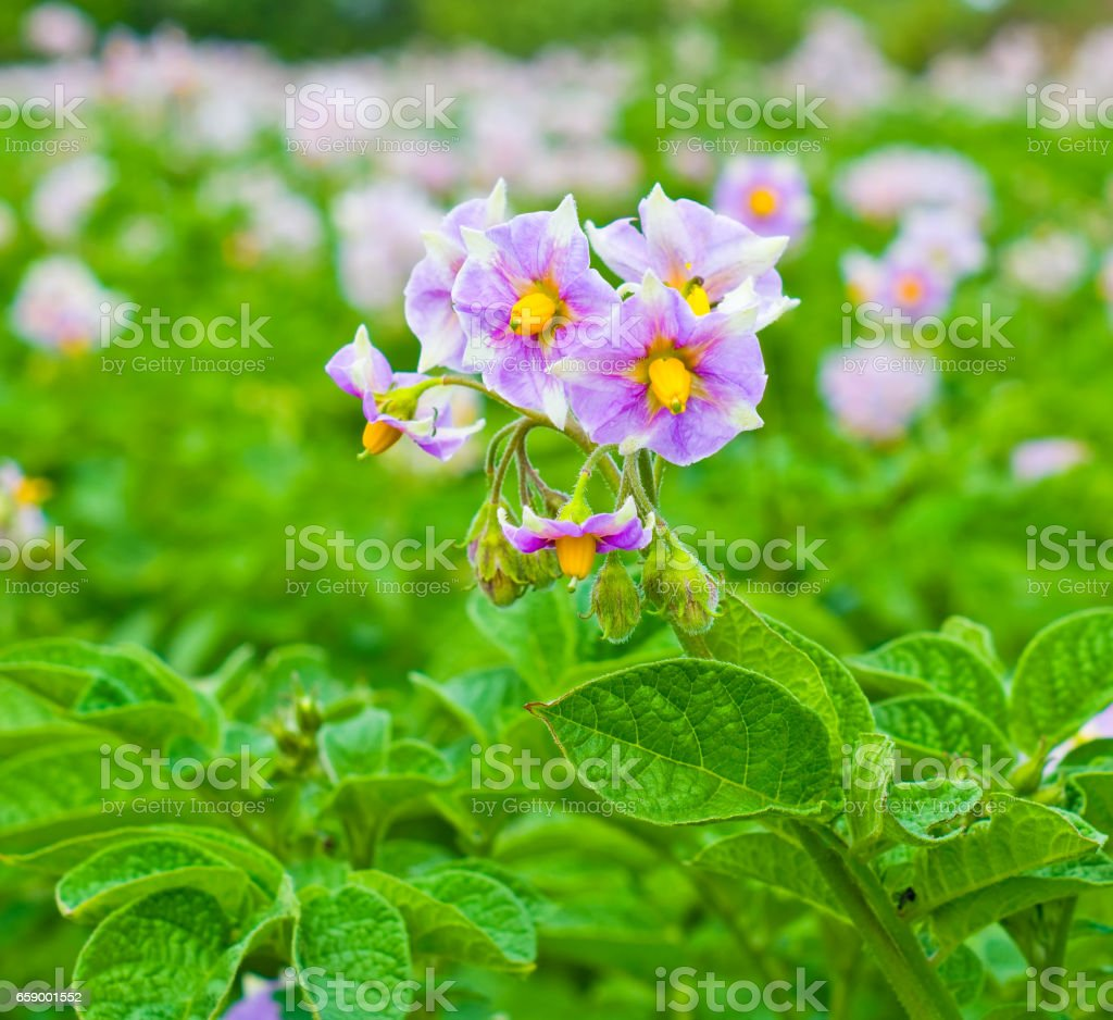 Flowering potato in the garden royalty-free stock photo