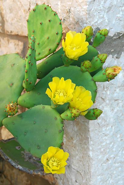 cornejo acicularis peras cactus. - opuntia robusta fotografías e imágenes de stock