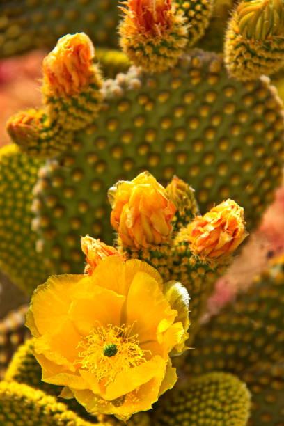 cactus de peras espinosas en floración, isla spetses, grecia - opuntia robusta fotografías e imágenes de stock