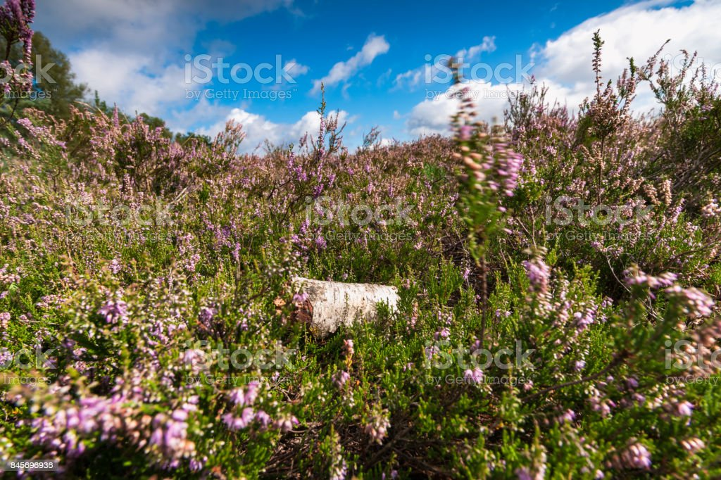 Flowering purple heathland in the Netherlands stock photo
