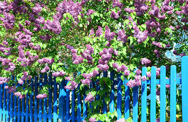 Flowering purple lilac bush at blue wooden fence stock photo