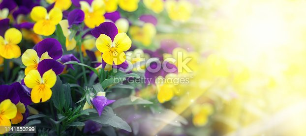 istock Flowering purple pansies in the garden in sunny day. Natural summer background with soft blurred focus 1141850299