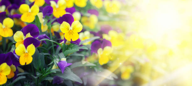 Flowering purple pansies in the garden in sunny day. Natural summer background with soft blurred focus Flowering purple pansies in the garden in sunny day. Natural summer background with soft blurred focus. pansy stock pictures, royalty-free photos & images