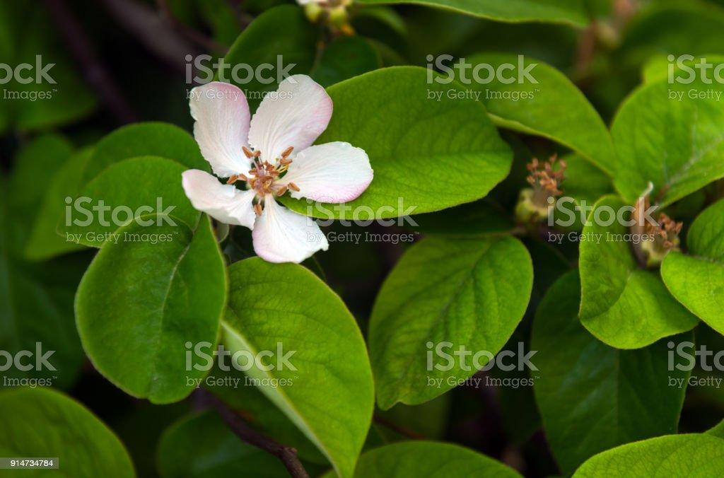 Flowering quince in garden stock photo