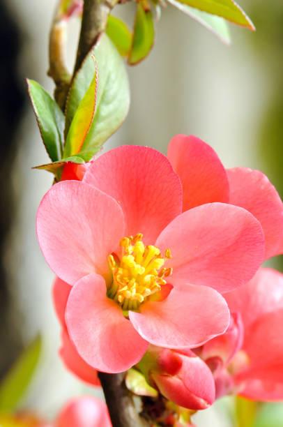 Blühenden Quitte – Foto