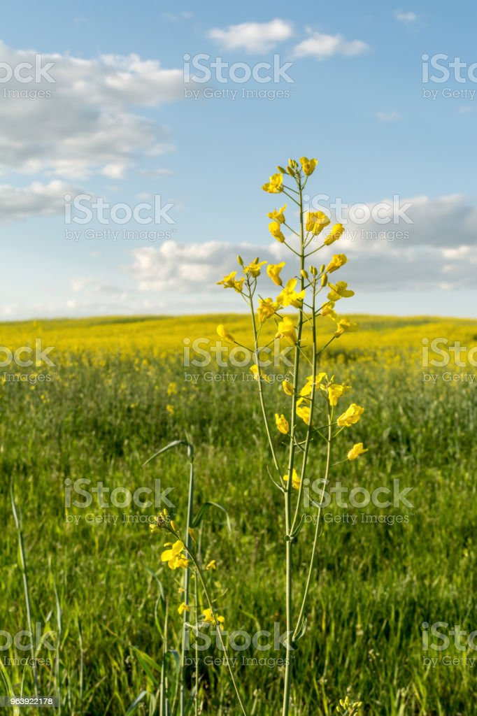 flowering rapeseed field and blue sky with clouds during sunset, landscape spring - Royalty-free Agricultural Field Stock Photo