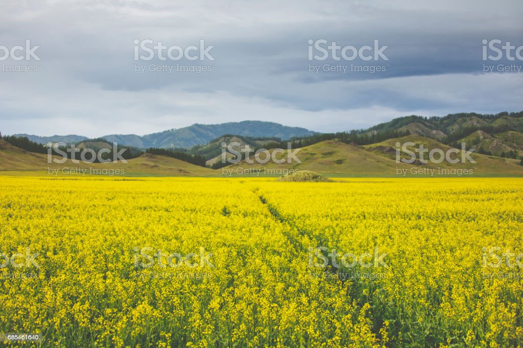 Flowering rapeseed field. Yellow flowers. Altai landscape foto de stock royalty-free