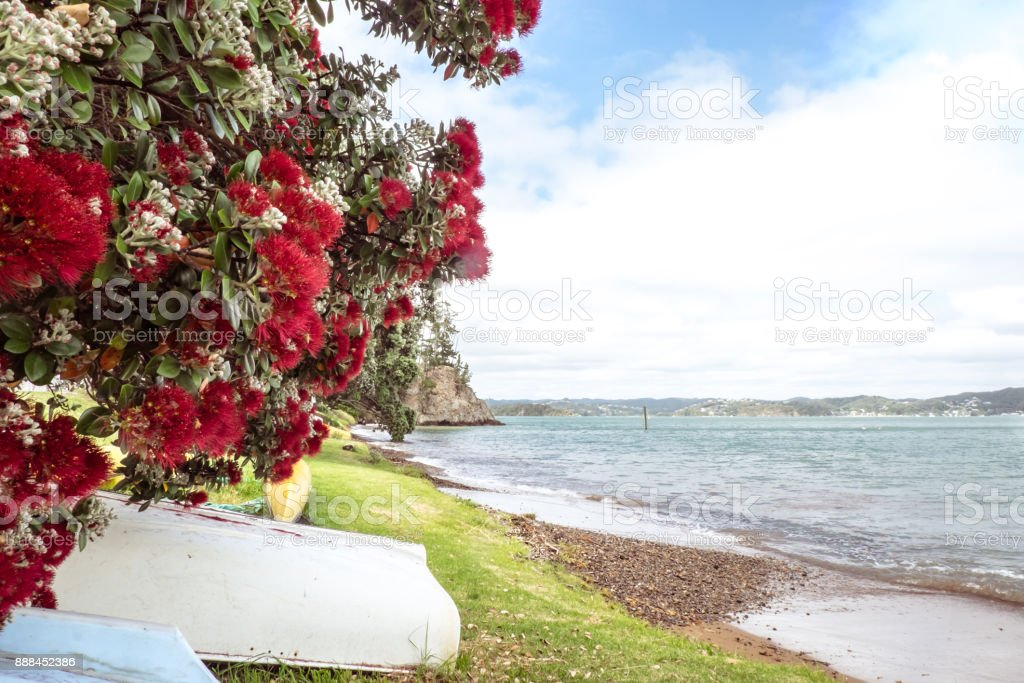 Flowering Red Pohutukawa Is Known As The New Zealand