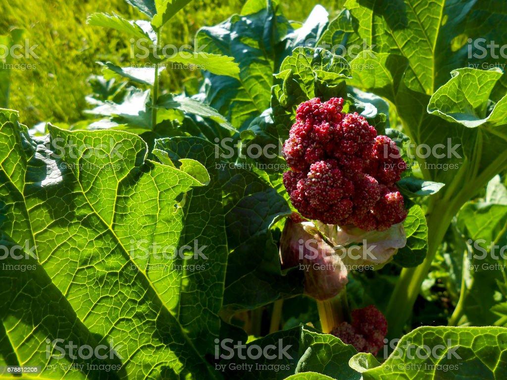 Que Faire Des Fleurs De Rhubarbe photo libre de droit de plant de rhubarbe rouge dans un