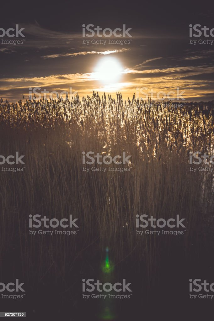 Flowering reed grass plume, with sunny background - Royalty-free Agricultural Field Stock Photo