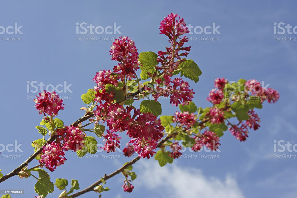 Flowering ribes # 1 royalty-free stock photo