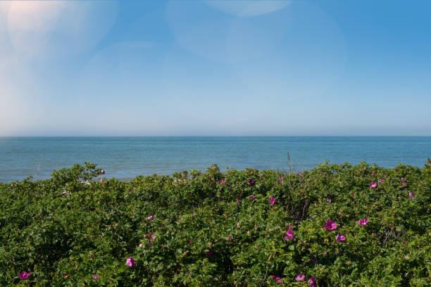 Flowering rosa rugosa shrubs at baltic sea coast with ocean and clear picture id690475258?b=1&k=6&m=690475258&s=612x612&w=0&h=81fgeycwjhb6nxhhmjdzetvh11f6wieu6monrmvunqk=