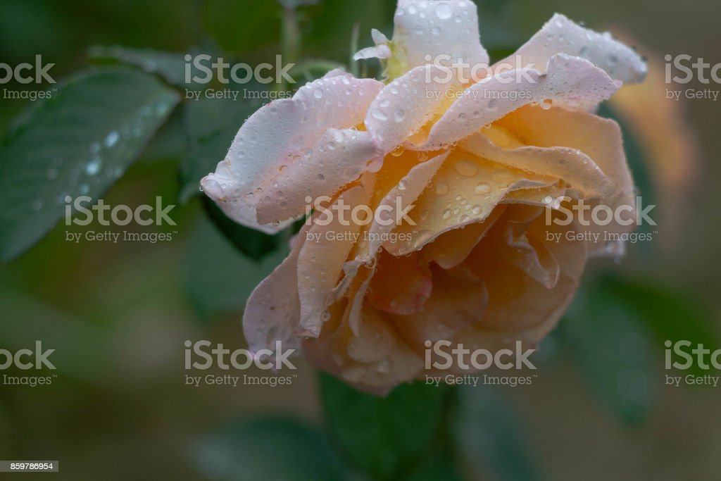 Flowering rose stock photo