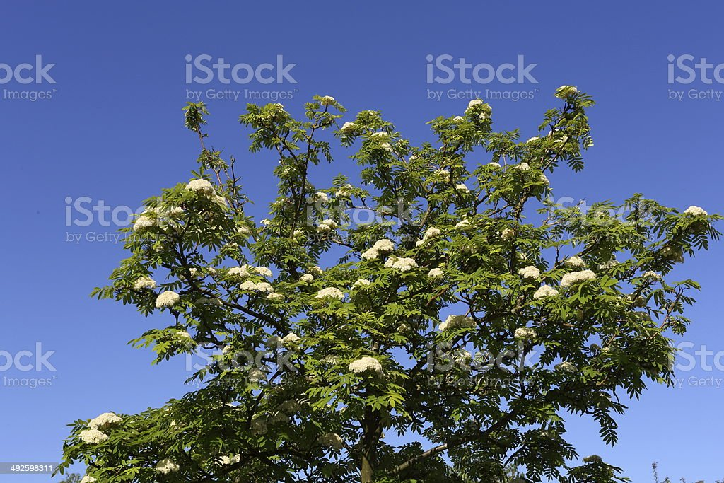 Flowering Rowan tree (Hippophae rhamnoides) stock photo
