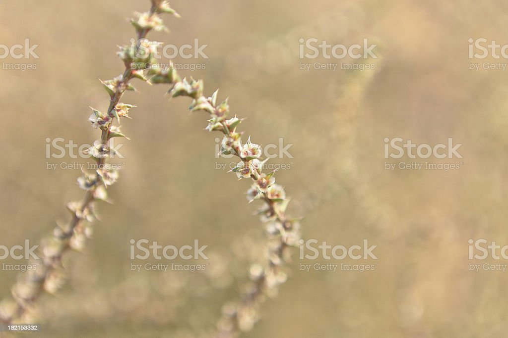 Flowering Russian Thistle And Thorns royalty-free stock photo