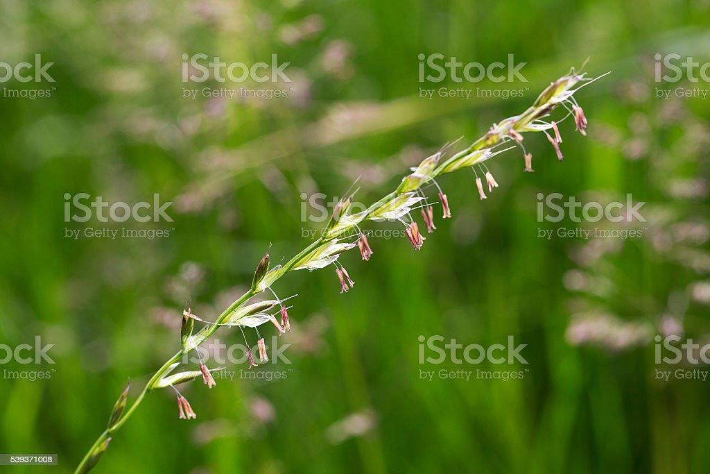 Flowering Rye grass stock photo