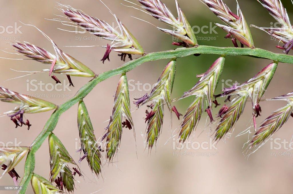 flowering ryegrass spike, Lolium multiflorum stock photo