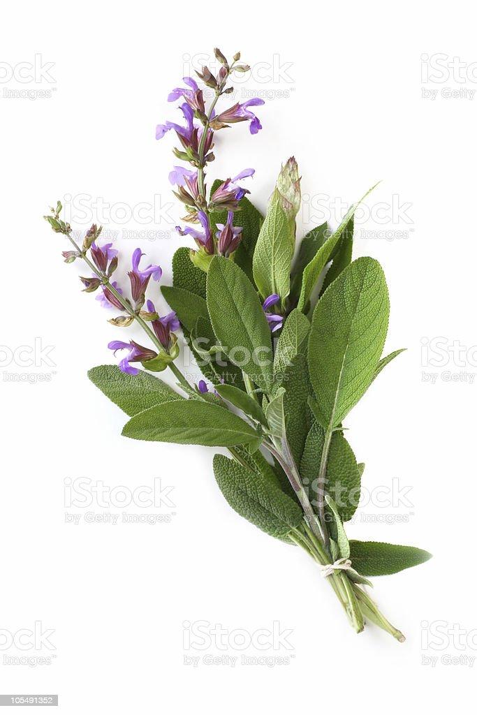 Flowering Sage stock photo